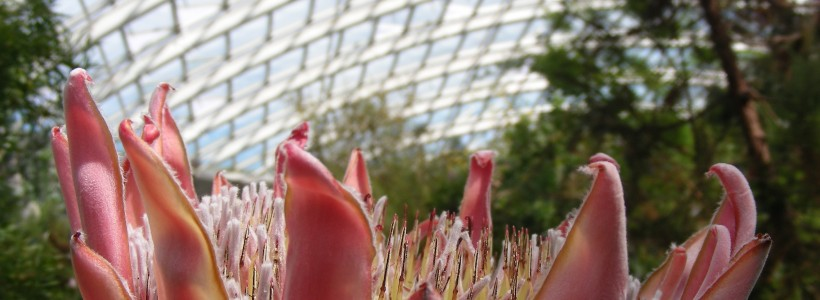 King Protea in the Great Glasshouse