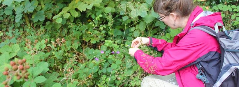 Collecting samples of Campanula patula for genetic analysis