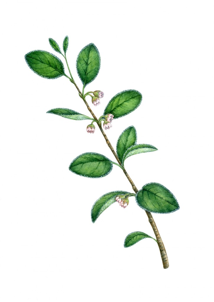 Welsh Cotoneaster