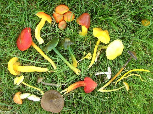 Colourful varieties of waxcap fungi