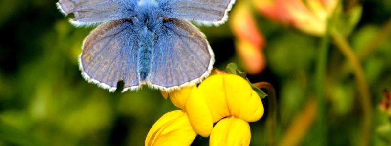 Common blue butterfly on bird's-foot trefoil, Wild Garden