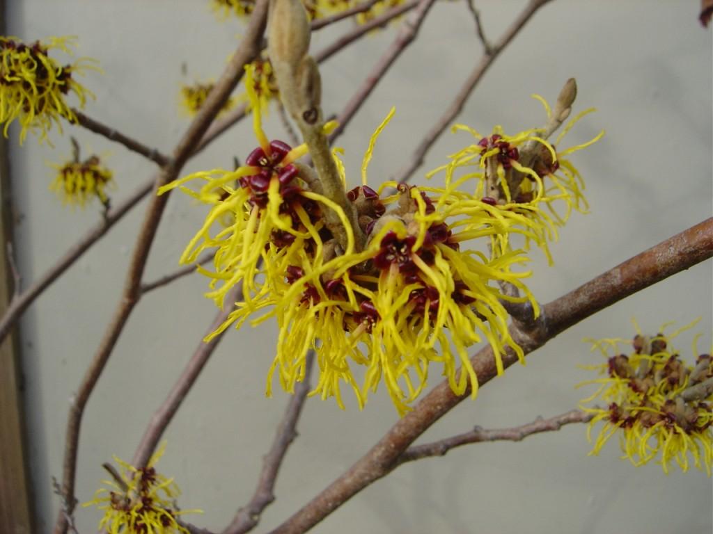 yellow witch-hazel flowers
