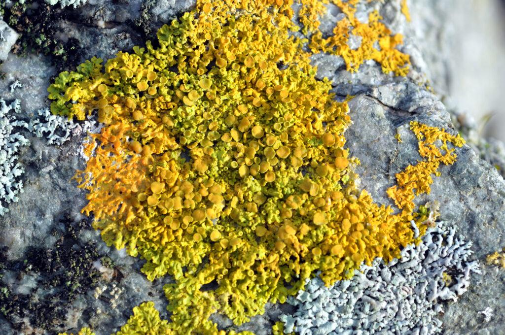 Yellow Wall Lichen