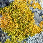Yellow Wall Lichen