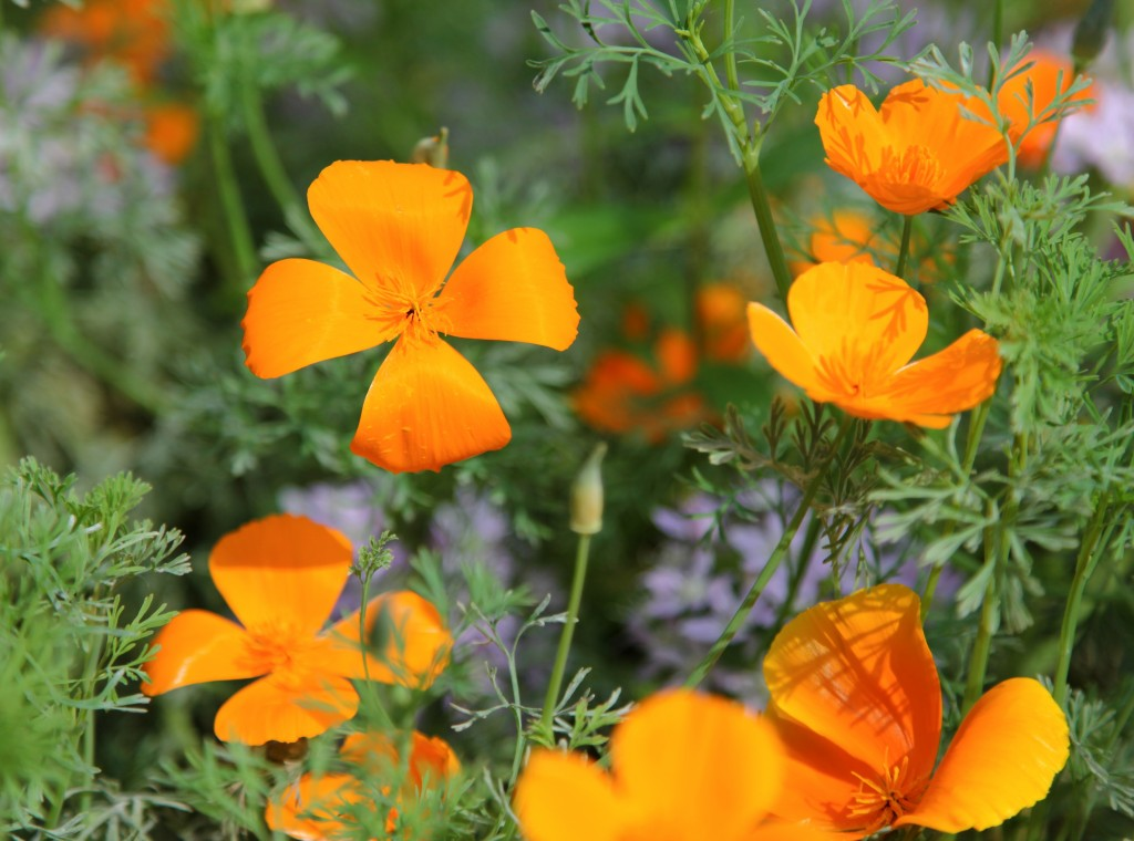Californian Poppy in the Great Glasshouse