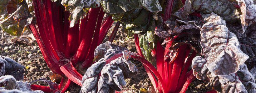 Vegetables despite winter frosts