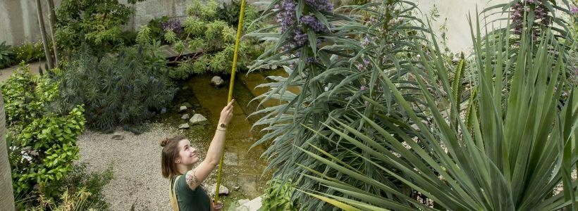 Diwrnod Diddordeb mewn Planhigion 2: Echium pininana