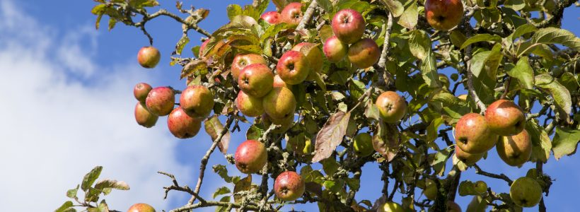 Getting to the core of the Welsh Heritage Orchard
