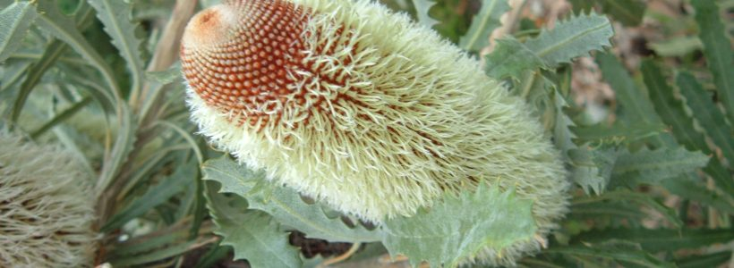 Woolly Banksia