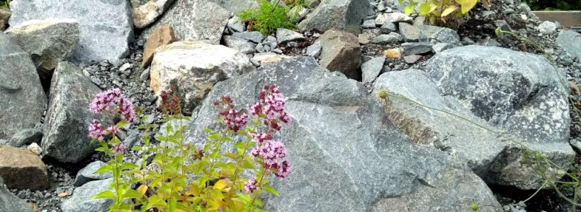 Wild Marjoram (Origanum vulgare) growing amongst rocks in the new display bed in the Welsh Natives compound